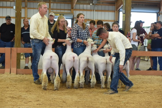 Open Sheep Show